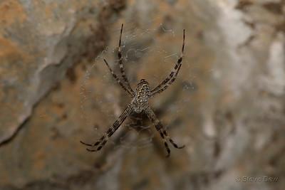Mascordi's St. Andrew's Cross Spider