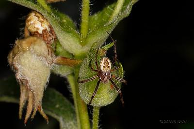 Orb Weaving Spiders Male & Female