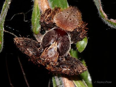Garden Orb Weaver - Male