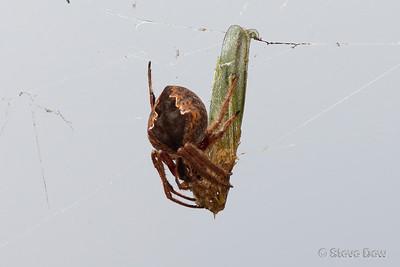 Australian Garden Orb Spider & Meal