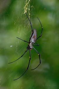 Giant Golden Orb-weaving Spider - Female & Male
