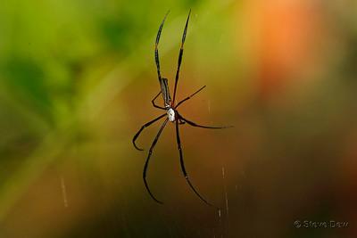 Giant Golden Orb-weaving Spider