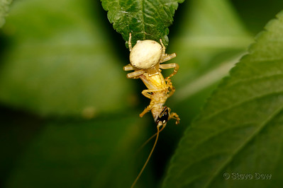 White Crab Spider - With Prey