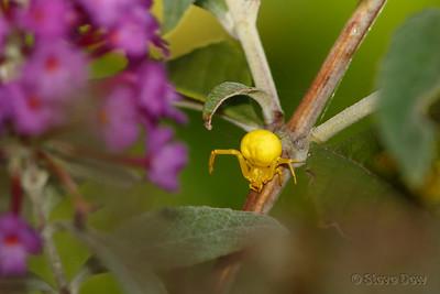 White (Yellow) Crab Spider