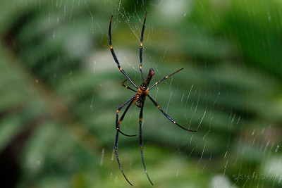 Giant Golden Orb-weaving Spider