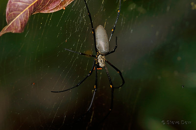 Giant Golden Orb-weaver - Female