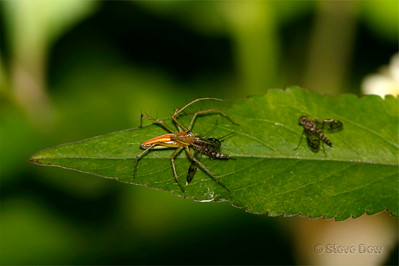 Common Lynx Spider Captures Dolichopodid Fly