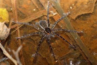 Fishing or Water Spider