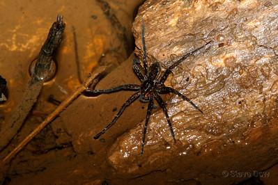 Fishing Spider