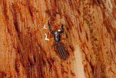 Under-bark Jumping Spider