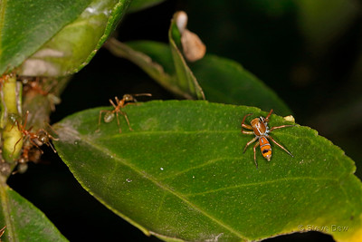 Green Tree Ant-Mimicking Spider