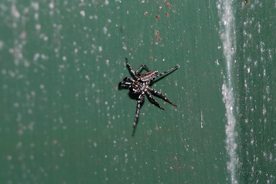 Grey Wall Jumping Spider?