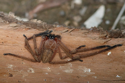 Flat Huntsman Spider
