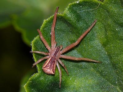Trapezium Crab Spider