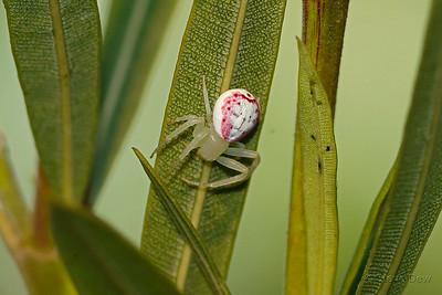 Pink Flower Spider