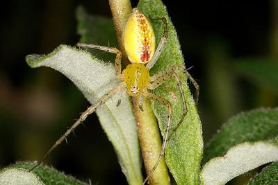 Flower Spider