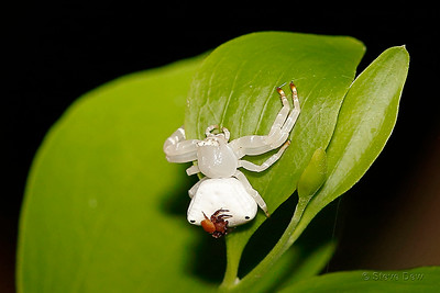 White Crab Spider Female and Male