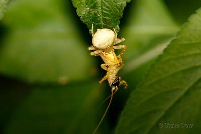 White Crab Spider - With Prey