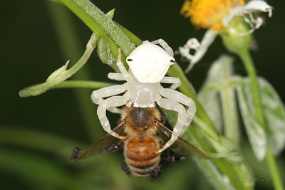 White Crab Spider - With Meal