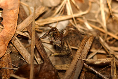 Wolf Spider Captures Owl Fly