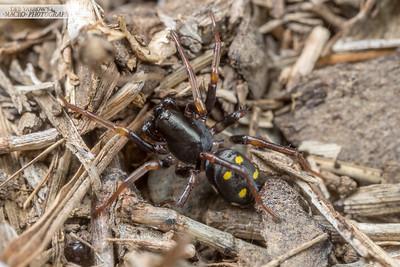 Yellow-spotted Zodariidae