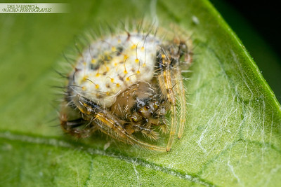 Male Two-spined Spider