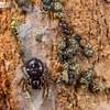 Tiny Bark Spiders