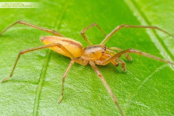 Garden Sac Spider