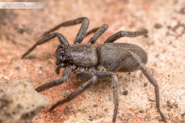 Flat Brown Spider