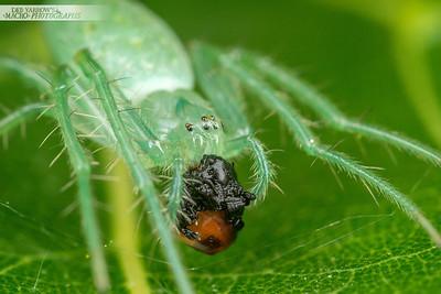 Blue-green Spider