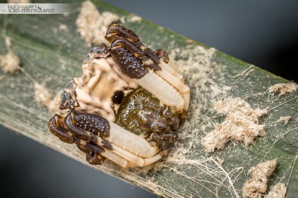 Poo Mimic Spider I