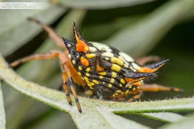 Spiny Spider Bum