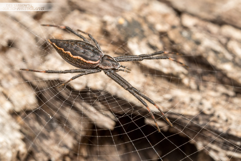 Pointy Spider