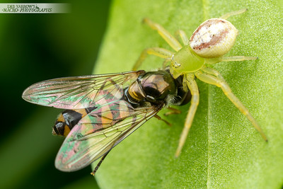 Crab Spider and Hoverfly