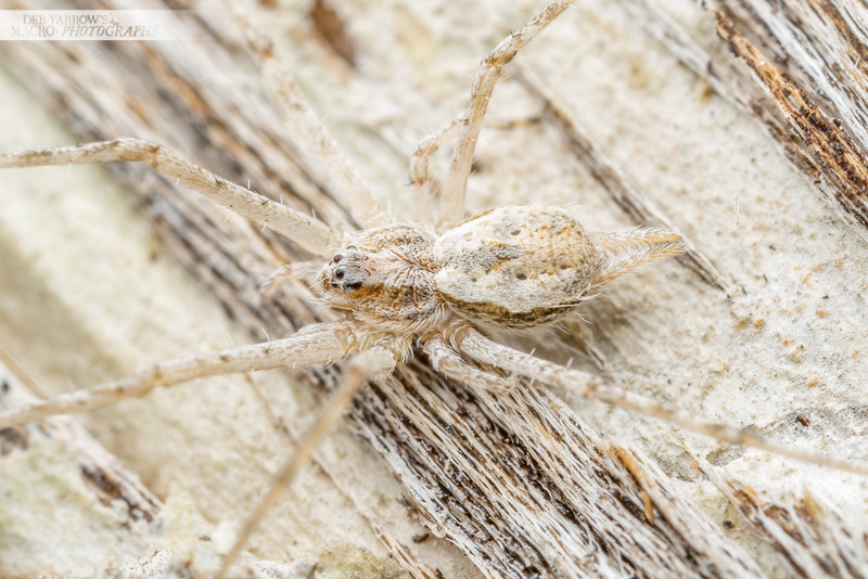 White Two-tailed Spider