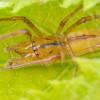 Hibiscus Spider