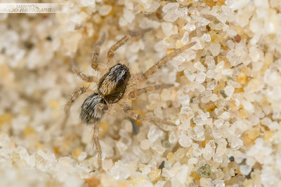 Beach Bum Spider