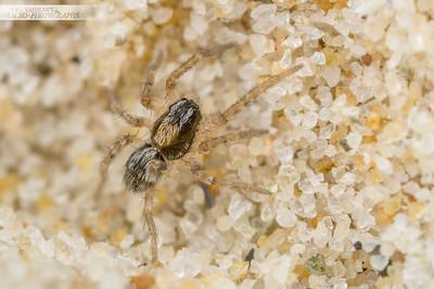 Beach Bum Spider