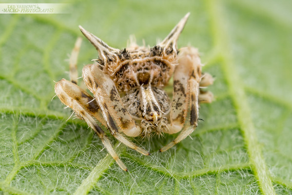 Prickly Ambush Spider