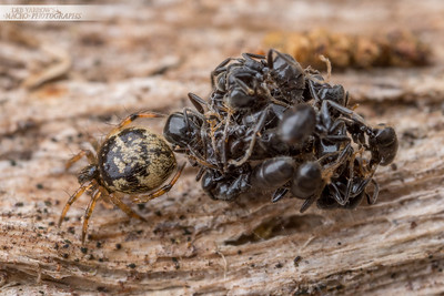 Ant-killing Spider with Ant Bundle