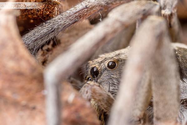 Wolf Spider Hiding