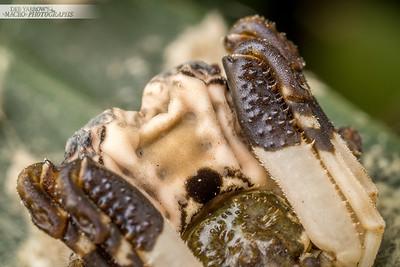 Poo Mimic Spider III