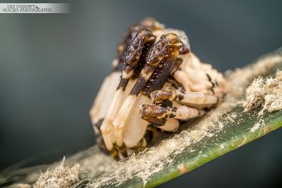 Poo Mimic Spider IV