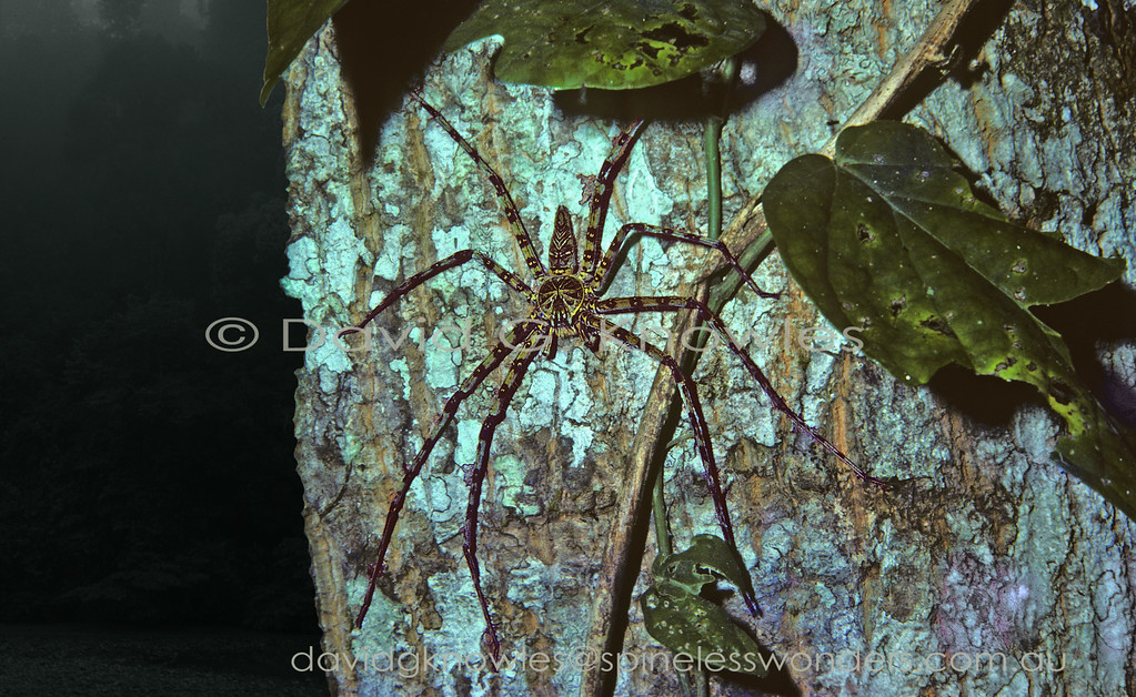 This species is one of the larger South East Asian huntsmans at least as far as legspan goes. However there have been recent new finds of a giant huntsmen from caves in Laos. The species has been rated as having the largest leg span of any living spider at 30 cm or one foot. However when it comes to the modern spider mass 'competition' the South American Tarantulas almost equal the legspans of the giant South-east Asian species but easily exceed those species in the body-weight catergory