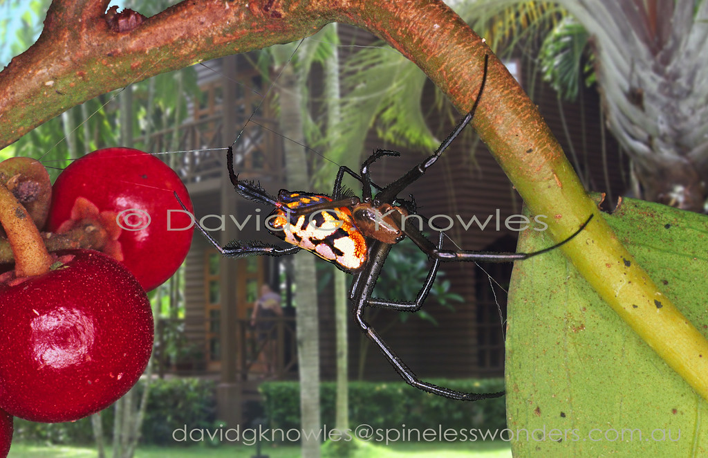 The common Family name of 'Large-jawed Spider' is somewhat misleading as many species do not have large jaws. This species prefers lowland areas, even quite close to the coast, from India to Indonesia. It builds a almost horizontal web rather than the traditional vertical orbweb. Presumably the web is placed to snare insects alighting and taking off rather than in horizontal transit