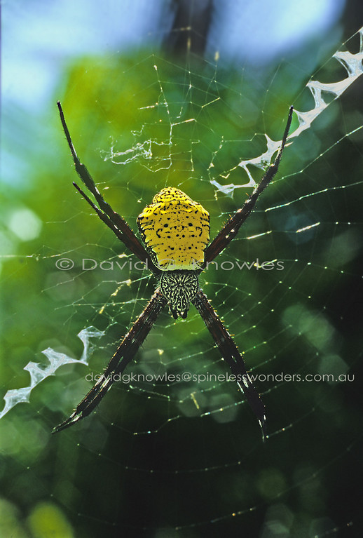The so-called St. Andrew Cross spiders incorporate a re-enforced silken line or cross called a stabilimentum into their webs. Although, as to the evolution of the silken structure, the exact reason is subject to debate. One of the ideas postulated is the structure advertises to flying birds the web's presence and they can avoid flying into it thus saving the spider the need to rebuild which uses extra energy, new silk, and cuts down on trap time whilst a new web is being constructed
