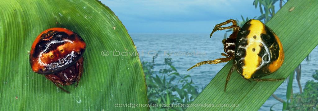 Cyrtarachne  tricolor Females Horale Ceram Island Indonesia  BL 10.0mm 3