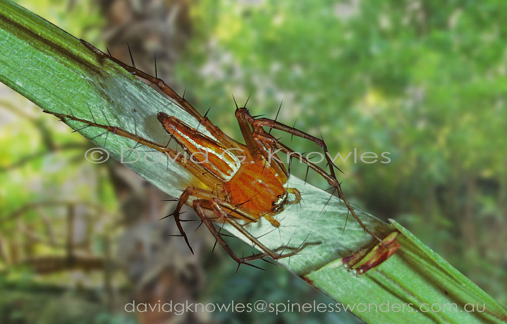 Lynx spiders, like jumping spiders, are hunters that jump towards prey. However there is a difference in style and ability. Lynx spiders tend towards a rapid series of 'hops' rather than the considered 'jumps' of jumping spiders. Also these spiders have much spinier legs and lack the enlarged central pair of anterior eyes of jumping spiders