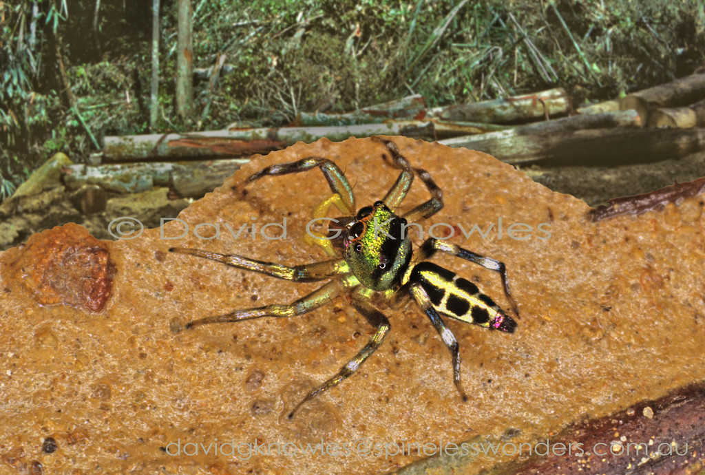 The medium-sized genus Cosmophasis extends from Africa discontinuously to South East Asia and south east to the eastern Pacific Islands and northern Australia. Some of the latter regions most striking jumping spiders occur in the males of this genus. There are two main groups based on the presence of abundant opal-like scales (setae) verses very much reduced. The least metallic species appear to occur in more arid areas as seen in northern Australia. Cosmophasis viridifasciata occurs from Sumatra to New Guinea