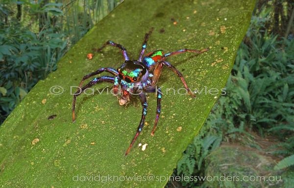 ARACHNIDS (Australia, New Guinea, South East Asia)